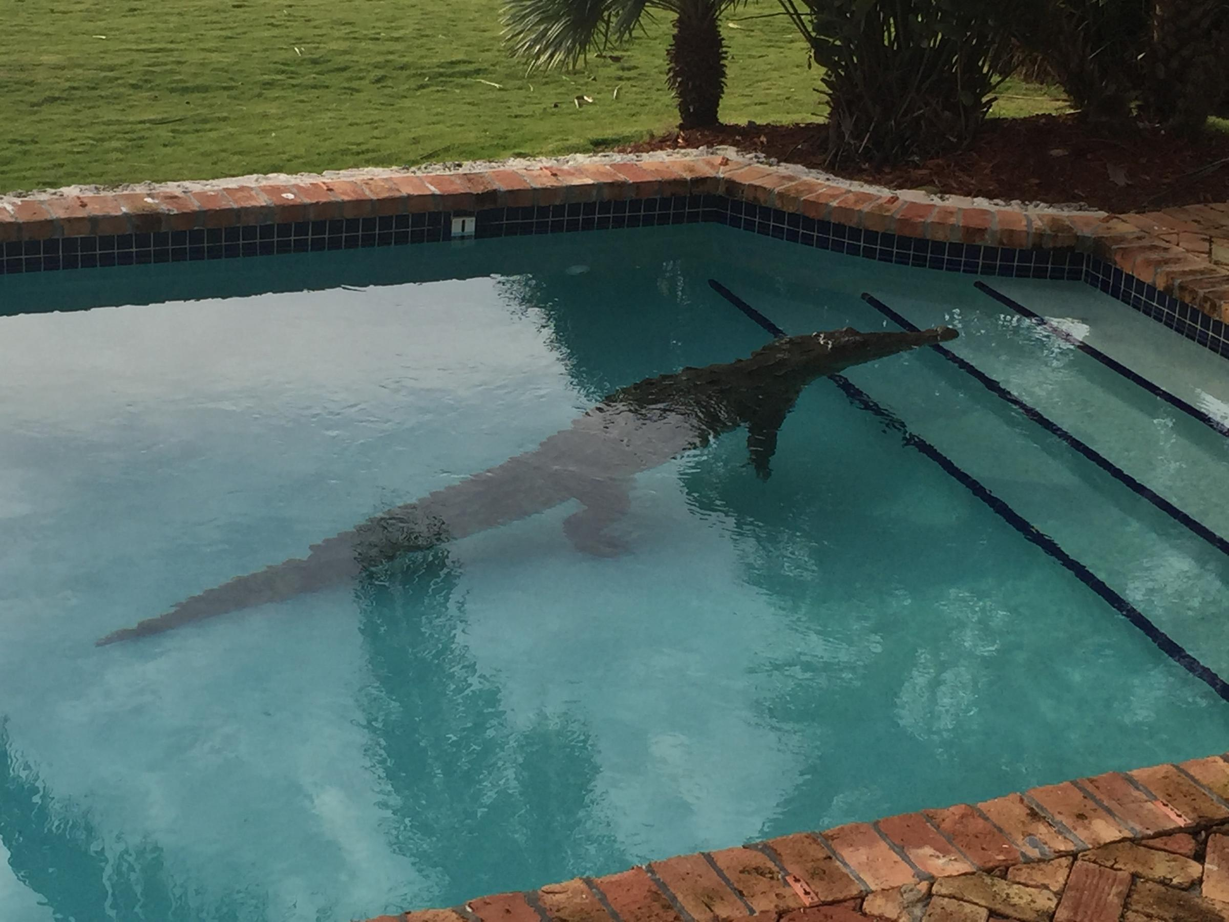 Pool Party Crasher American Crocodile Wlrn