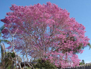 Bright yellow flowers fill south florida thanks to tabebuia tree wlrn a pink tabebuia tree mightylinksfo