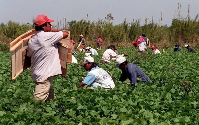 Migrant workers pick green beans in Homestead Florida