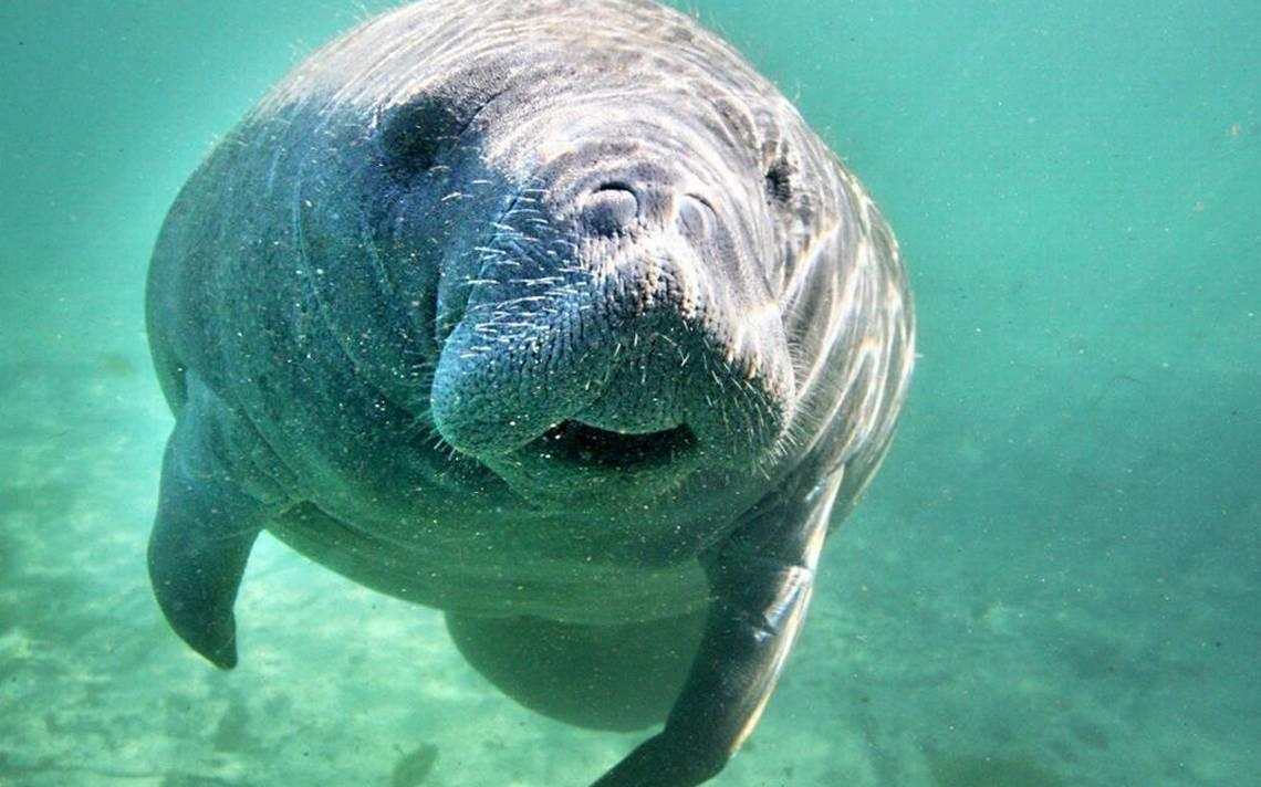 See A Manatee In Broward There S An App For That Wlrn
