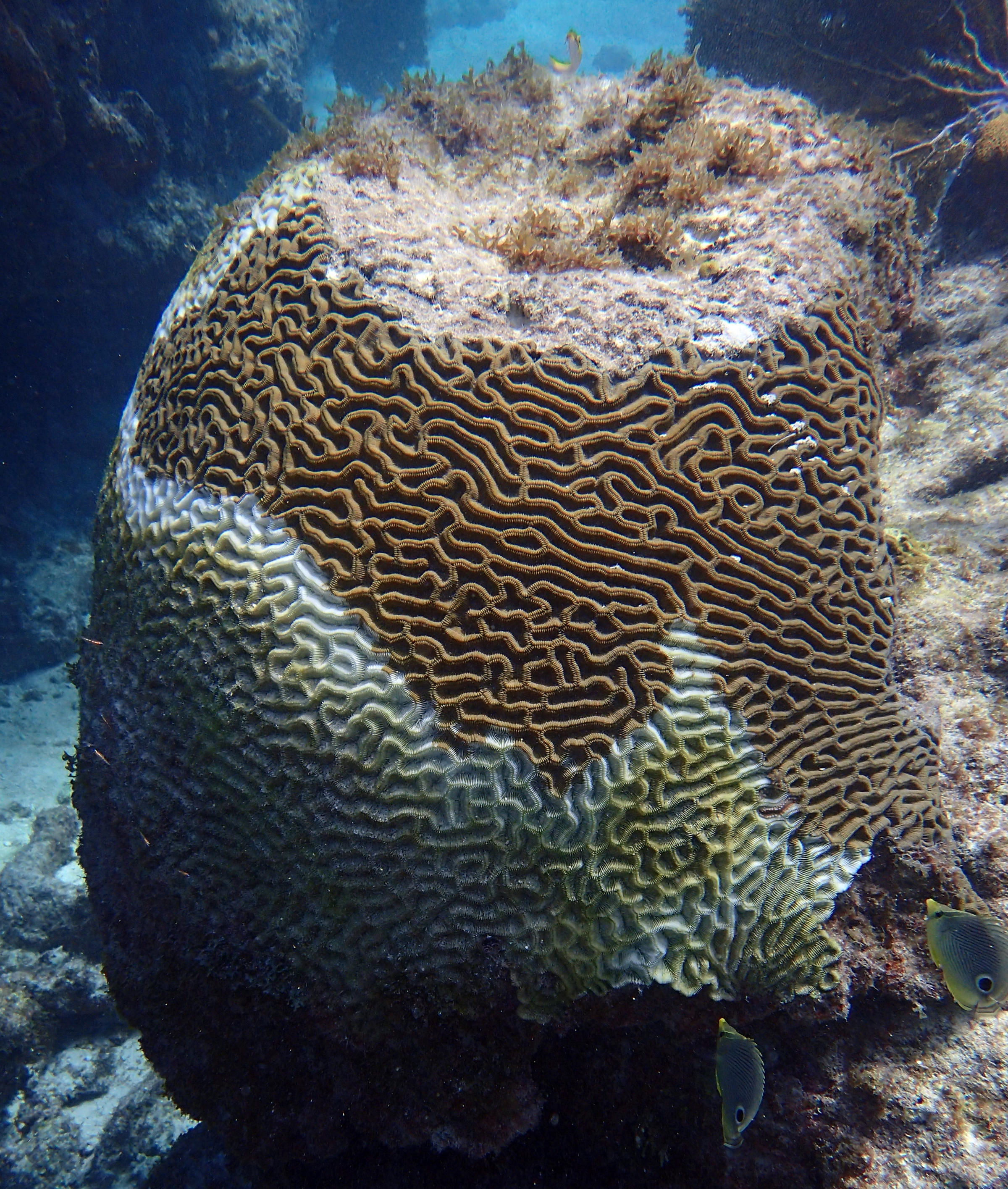 Latest Disease A Serious Threat To Florida's Reefs, But