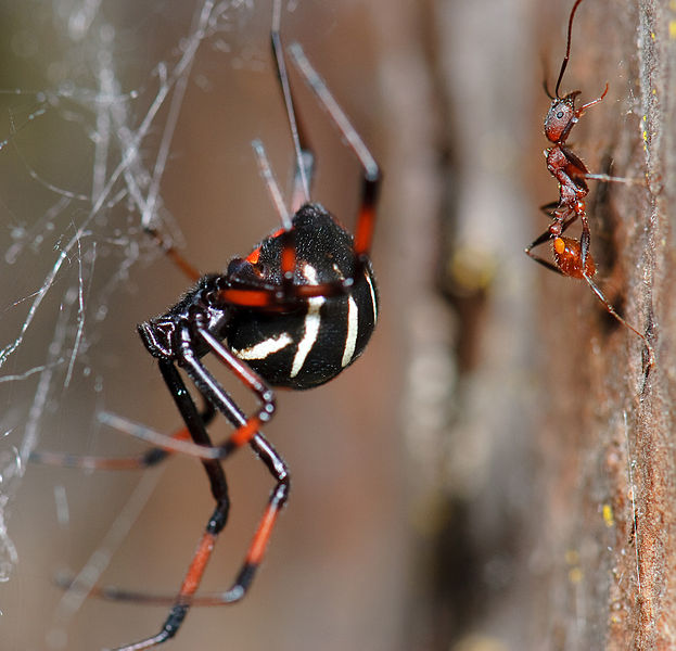The Northern Black Widow spider is usually found in the mid-Atlantic states.