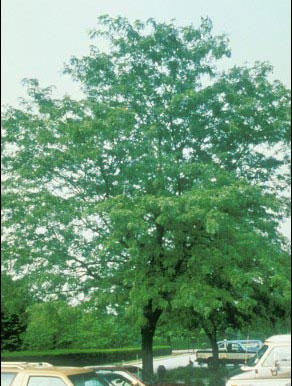 Shademaster Honey Locust
