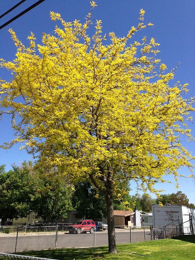 "'Sunburst' Honeylocust in Elko Nevada"" by"