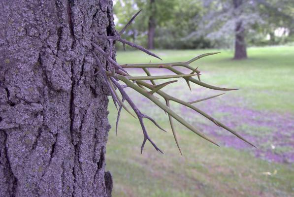 Thorns of the Honey Locust tree