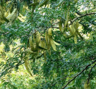 Honey Locust pods