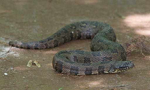 A Brown Water Snake