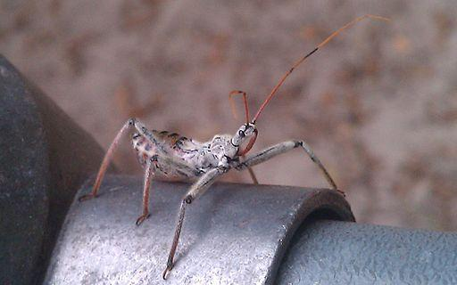 Wheel Bug Nymph