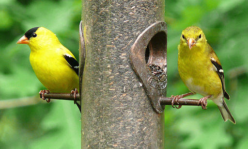 American Goldfinches, male (left) and female