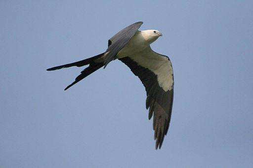 A Swallow Tailed Kite