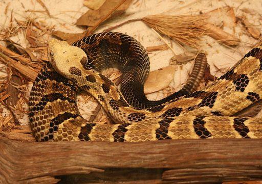 A Canebrake Rattlesnake.