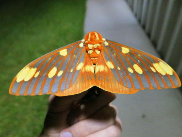 A Regal Moth.