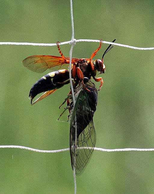 A Cicada Killer Wasp with a Cicada.