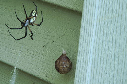 A Writing Spider with its egg sac.