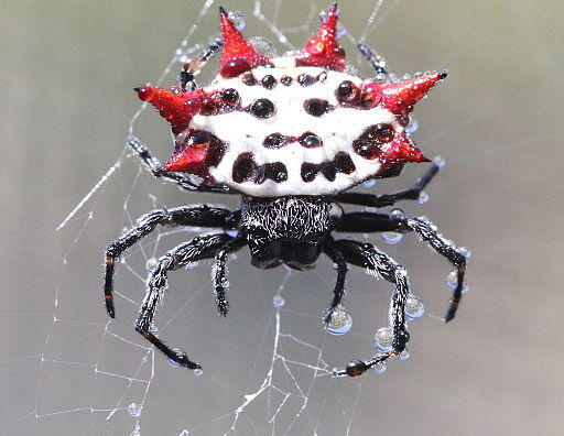 Spiny Backed Orb Weaver