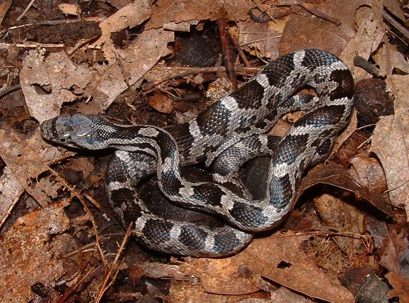 A juvenile Black Rat Snake.