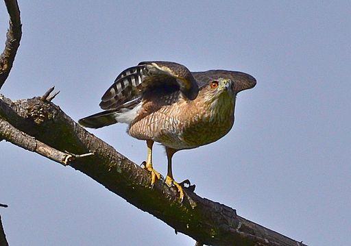 A Cooper's Hawk.