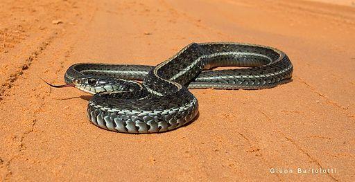 Eastern Garter snake, Florida.