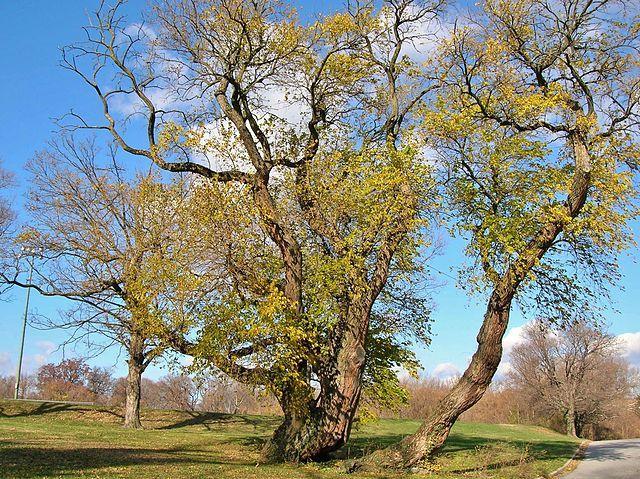 Osage Orange Trees