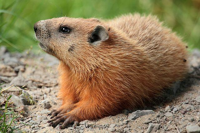 A groundhog.