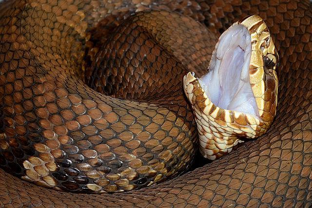 An Eastern Cottonmouth Snake, agkistrodon piscivorus.
