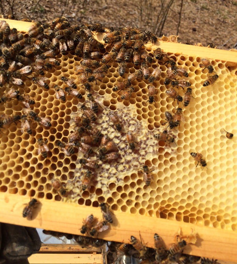 These bees have filled some of the beeswax cells with honey.