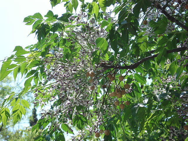 A flowering Chinaberry tree.