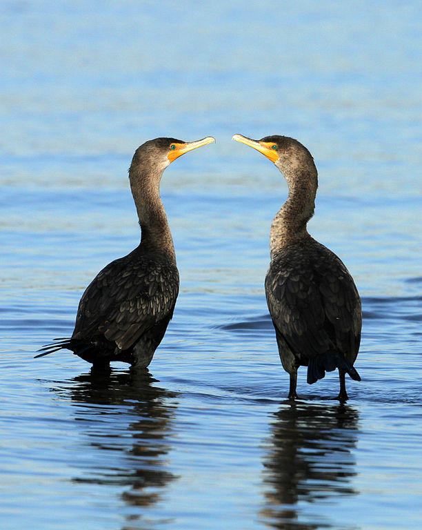 Black cormorants.