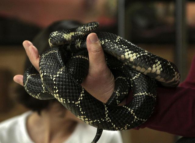 An eastern king snake.