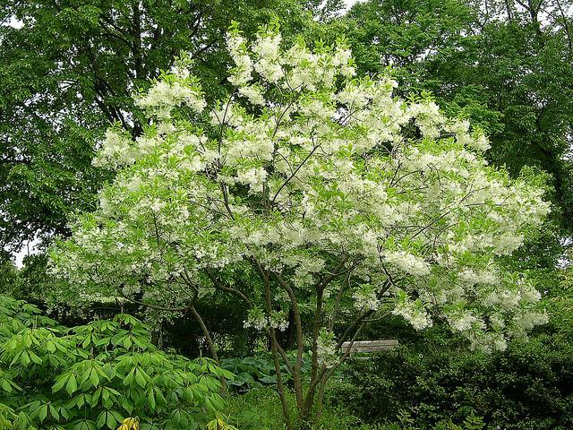 A fringe tree.