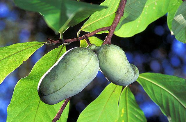 Paw Paw fruit.