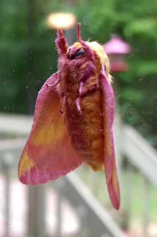 A rosy maple moth on a pane of glass in Durham, NC.