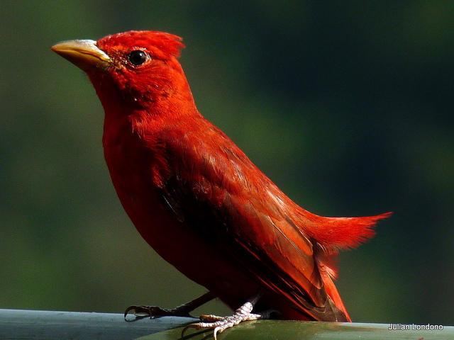 A summer tanager.