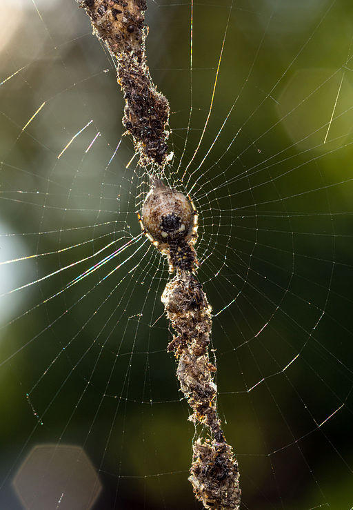 A conical trashline orb weaver spider in its web.