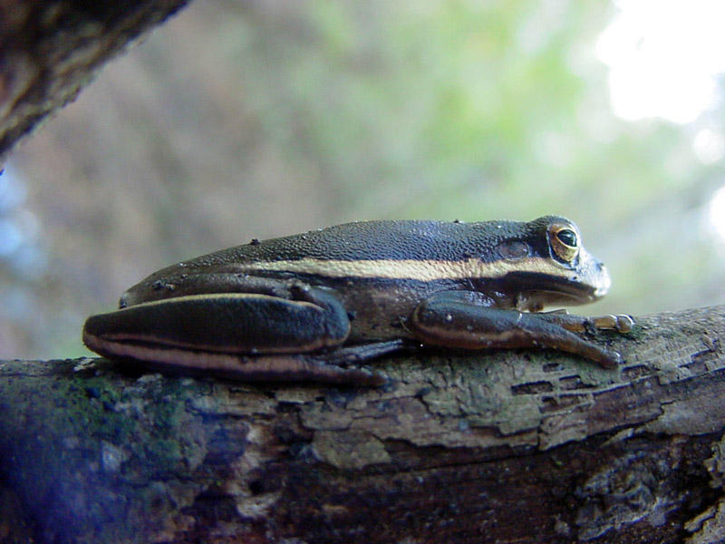The green tree frog can sometimes have a blue or gray cast.