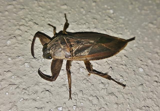 A giant water bug.