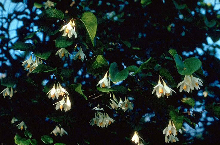 Snowbell, styrax platanifolius