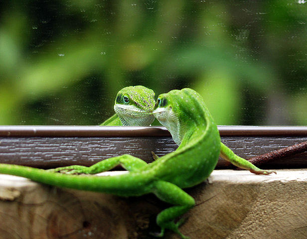 A Carolina anole trying to intimidate its reflection.