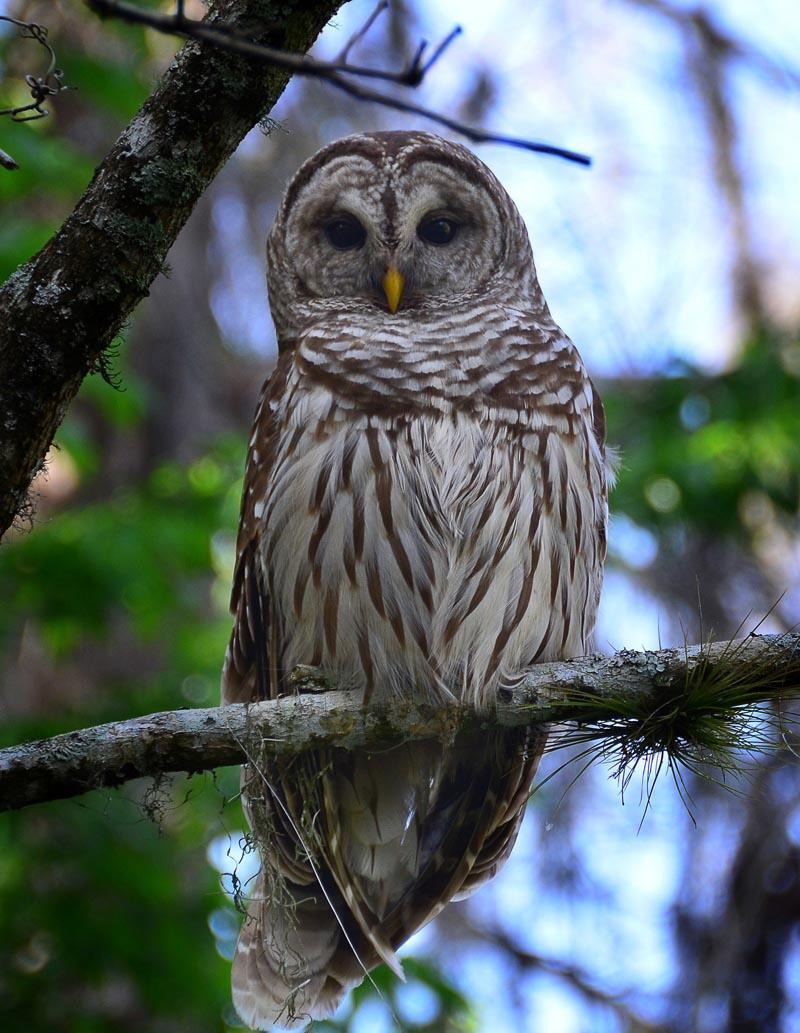 A bard owl.