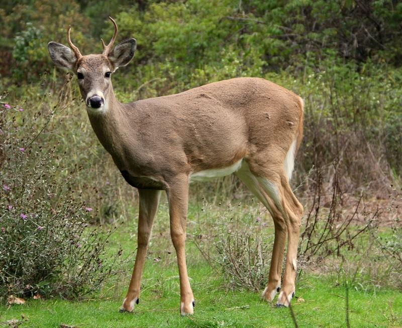 A white-tailed stag; the white-tailed deer is the only type of deer present in South Carolina.