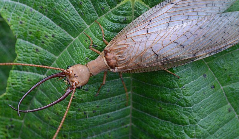 A Dobsonfly.