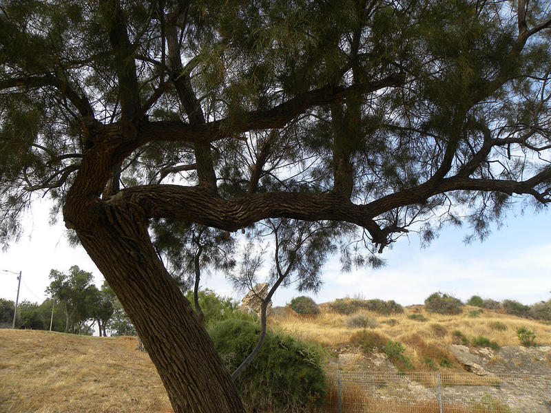 A Tamarisk tree in Israel.