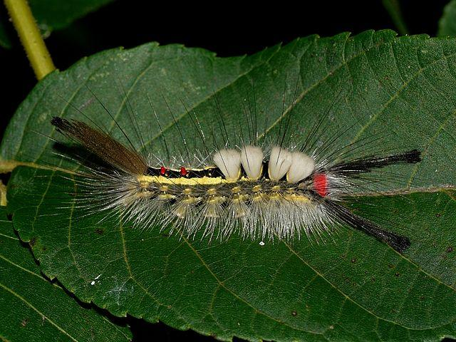 A white marked tussock moth caterpillar.