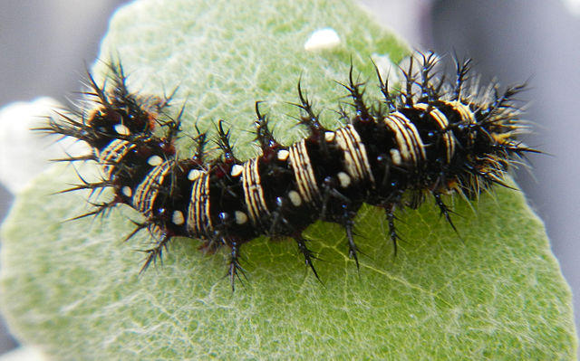 The caterpillar of the American Lady butterfly.