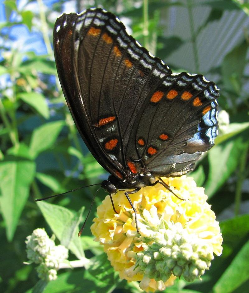 Red Spotted Purple butterfly.
