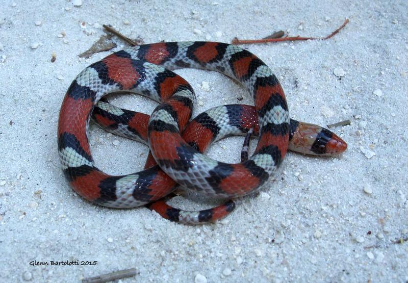 Northern Scarlet Snake.