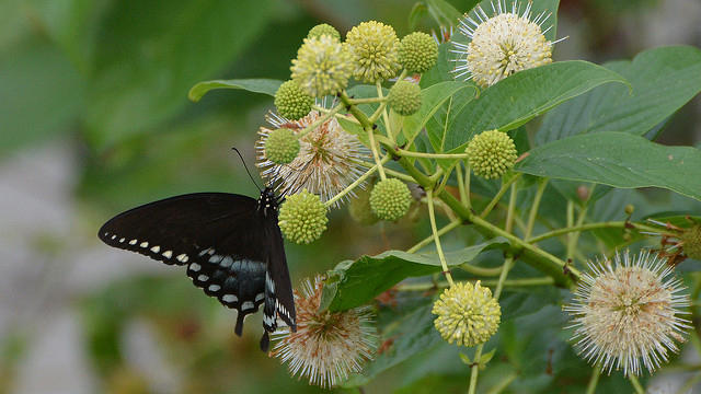 A Spicebush Swallowtail butterfly (male) on a Buttonbush.