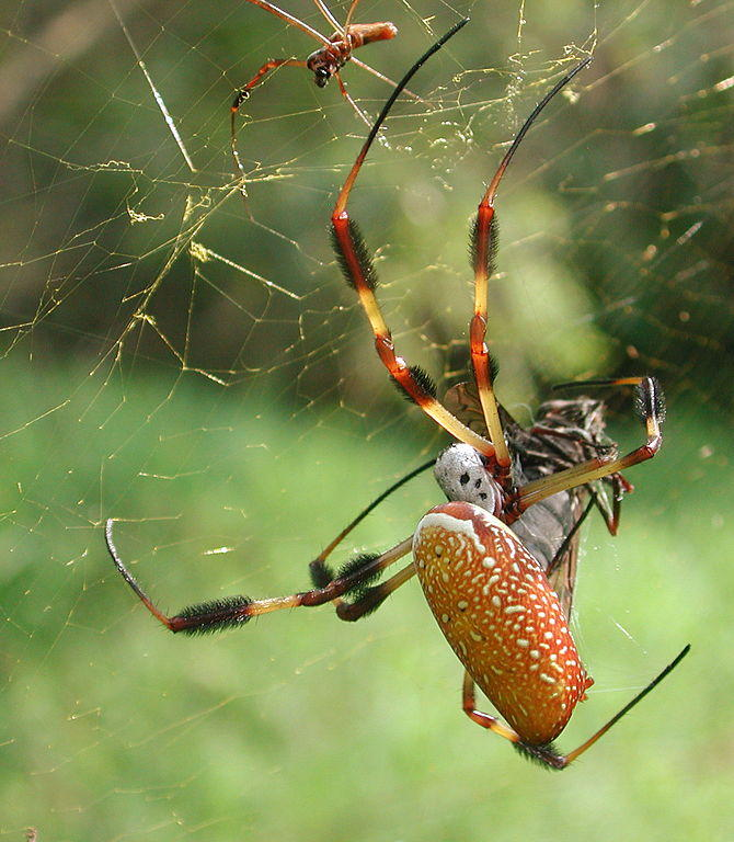 A male Golden Silk Orb Weaver (top) is a lot smaller than a female .