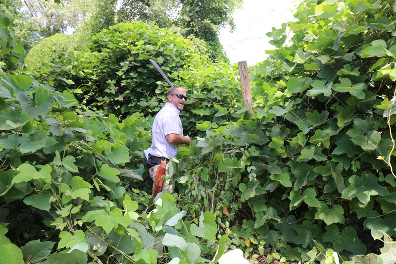 Ward Marotti cuts through thick vegetation. Beneath him rest drain pipes that will be daylighted as part of the Northside Linear Park creek restoration.