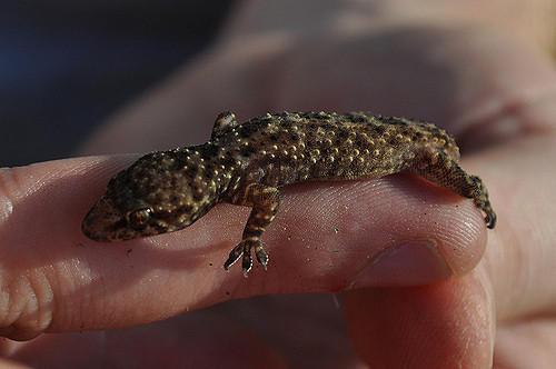 A Mediterranean Gecko.